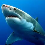 ジョーズ?濠洲で人食いサメが日本人を襲撃?サメに襲われた時の対策とは?