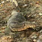 バンコク観光ではルンピニ公園に野良オオトカゲを見に行こうっ!